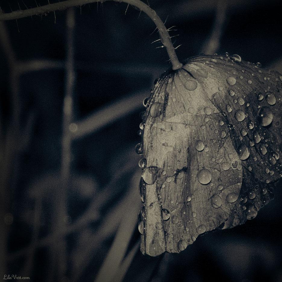 Coquelicot sous la pluie / Poppy drops / macro ©LilaVert