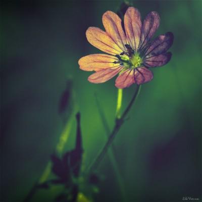 Fleur [Haute-Loire, Août 2o11]