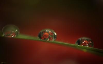 Macro Drop poppies – Coquelicots dans gouttes d'eau ©LilaVert