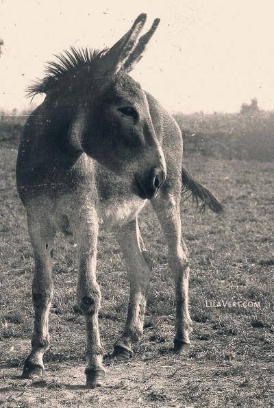Donkey vintage – Ane photography – ©LilaVert