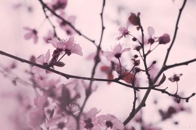 Arbre en fleurs – Février 2016 ©LilaVert
