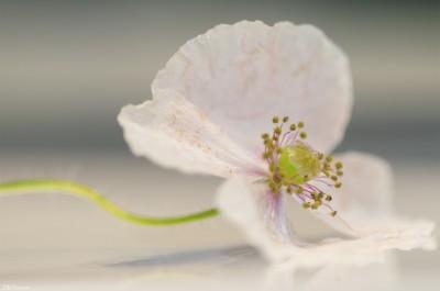 Coquelicot blanc / Macro White poppy – ©LilaVert