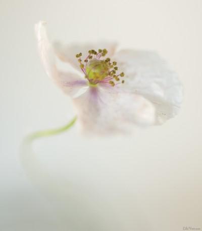 Coeur coquelicot blanc – White Poppy heart / ©LilaVert.com
