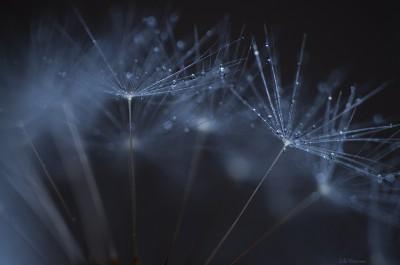 Dandelion by night – Macro