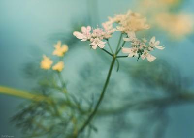 Fleurs de coriandre – Ambiance [juillet 2013]