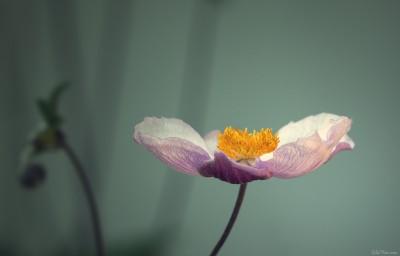 Simply flower – Photo macro – ambiance  [juillet 2013]