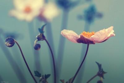 Flower – Ambiance Anemone du Japon