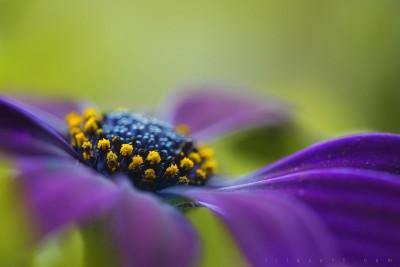 Flower – purple, pistils macro ©LilaVert