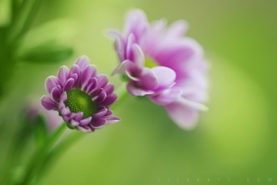 flowers photographie – Ambiance ©LilaVert