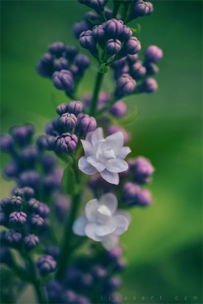 Lilas éclosions printemps – Lilac spring – ©LilaVert