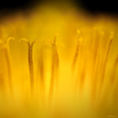 Pistils de fleur de pissenlit