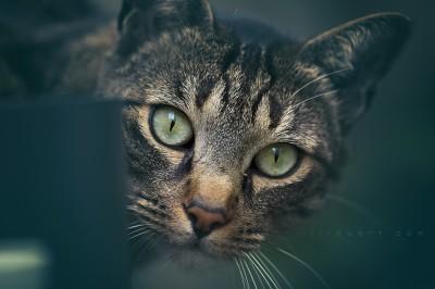 Timousse – Portrait chat ©LilaVert