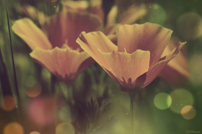 Vintage flowers photographie – ©LilaVert