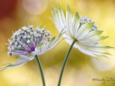 Mandy Disher – fleur Astrantia