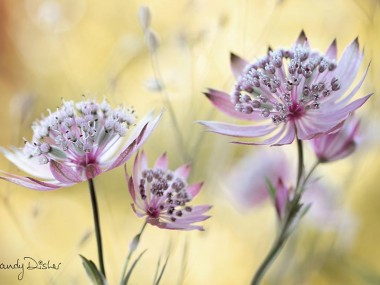 Mandy Disher – fleurs Astrantia