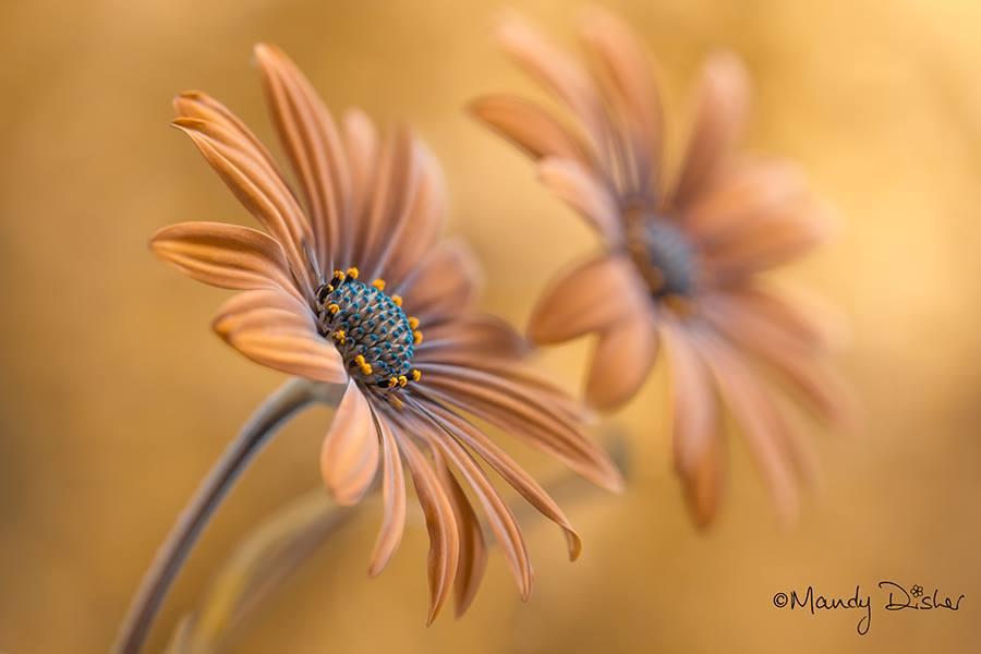 Mandy Disher – fleur Cape Daisies
