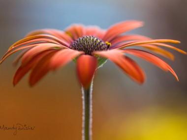 Mandy Disher – fleur Daisies photo