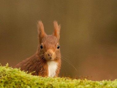 Teddy-Bracard-ecureuil roux