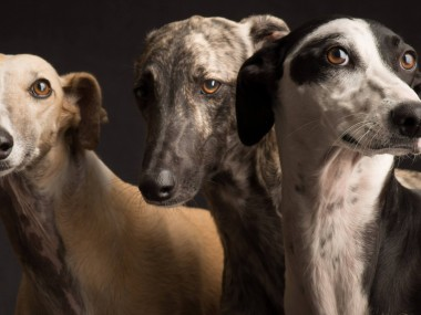 Paul Croes – Photographie animaliere, portraits studio – chiens