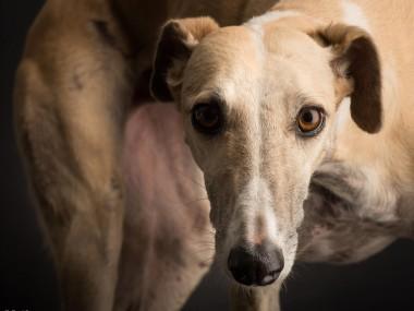 Paul Croes – Photographie animaliere, portraits studio – chien