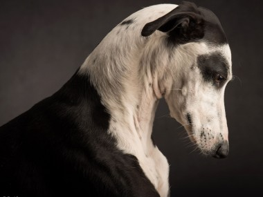 Paul Croes – Photographie animaliere, portraits studio / chien