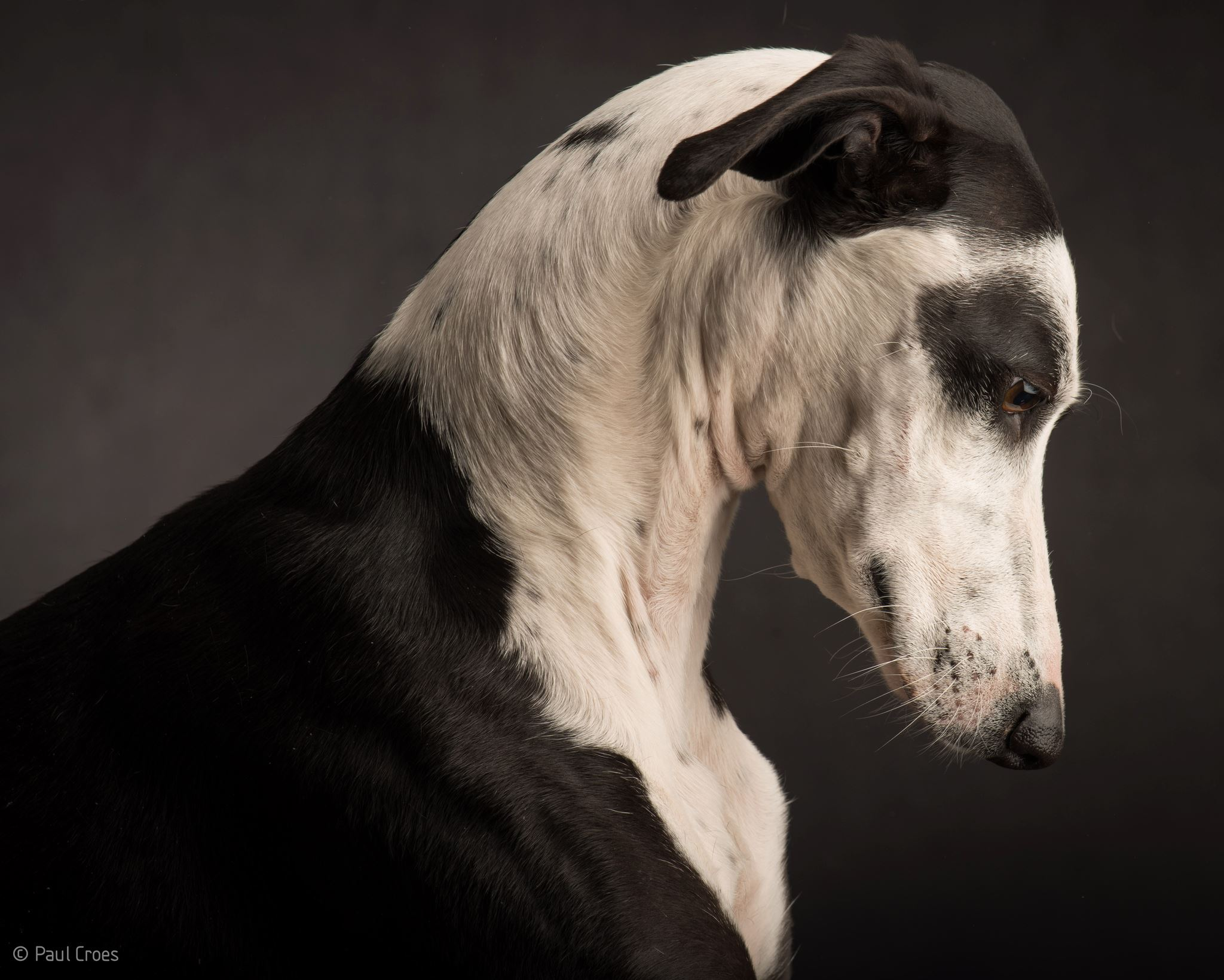 Paul Croes – Photographie animaliere, portraits studio / chien