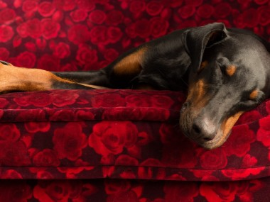 Paul Croes – Photographie animaliere, portraits studio – Doberman