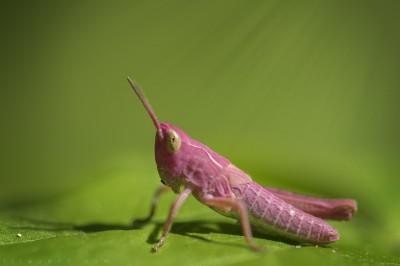 Macrophoto – Sauterelle rose / Pink grasshopper