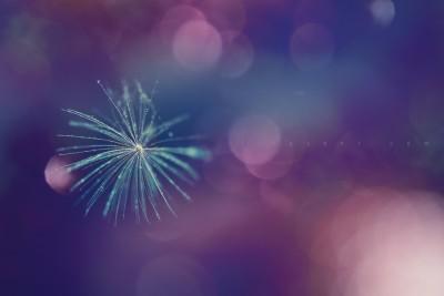 Dandelion – bokeh ©LilaVert macrophotography
