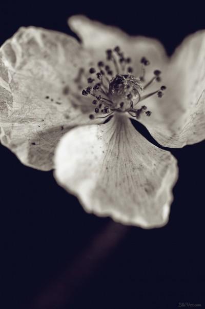 White poppy – coquelicot blanc / Black version