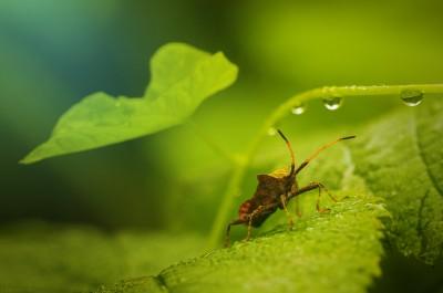 Punaise / Bug Paradise {Carpocoris purpureipennis} Macrophoto ©LilaVert