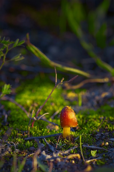 Champignon ambiance automne – Macro – ©LilaVert
