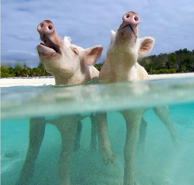 cochons sauvages aux bahamas