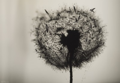 Dandelion Birds / Photomanipulation macro ©LilaVert
