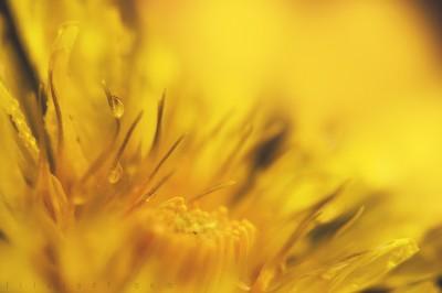 Dandelion – Macro ©LilaVert