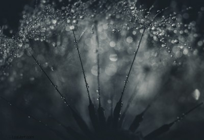 Dandelion drops / ©LilaVert