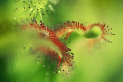 Drosera capensis – Plante carnivore / Macrophotographie ©LilaVert