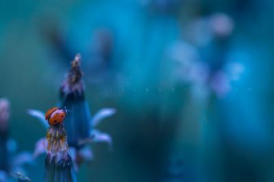 Ladybug – macrophotography ©LilaVert