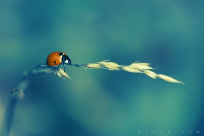 Ladybug – Blue background / ©LilaVert