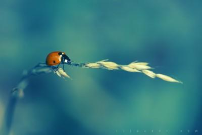 Ladybug – Blue background / ©LilaVert