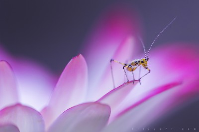 Macro sauterelle – ©LilaVert
