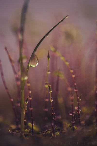 Magic land – Moss & drops – macrophotography ©LilaVert