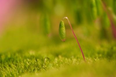 Germe de mousse / Moss / ©LilaVert