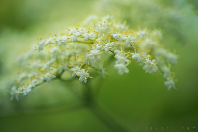 The Wedding.. Pistils flowers – Macrophotographie ©LilaVert