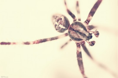 Spider on the wall – araignée / Macro