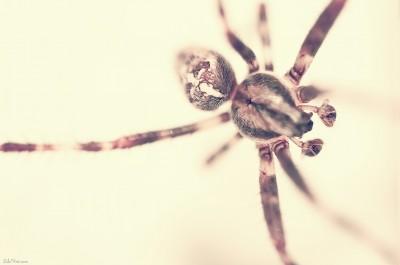 Spider on the wall – araignée / Macro