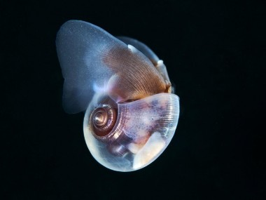 semenov – escargot sea