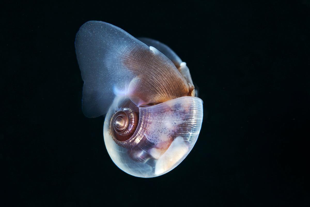 semenov – escargot sea