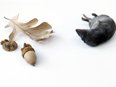 mary jo hoffman -shrew-with-acorn1