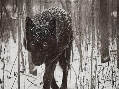 Lucian – le chien qui se prenait pour un loup